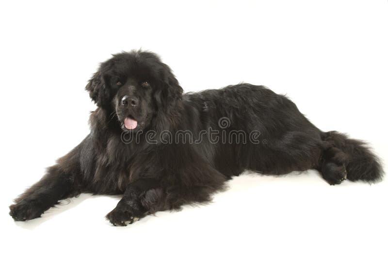 Wodołazu pies obrazy royalty free