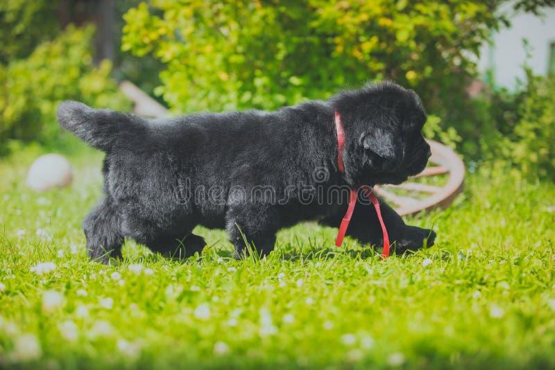 Wodołazu szczeniak, czerń, woolen fotografia stock