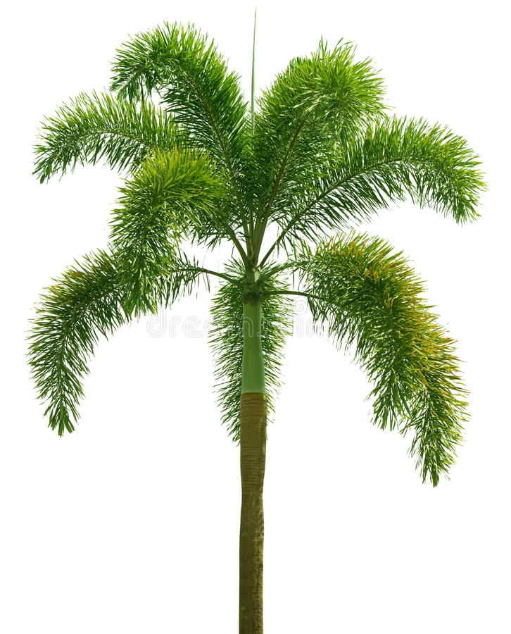 Wodyetia (palma do Foxtail) Palmeira isolada no branco fotos de stock royalty free