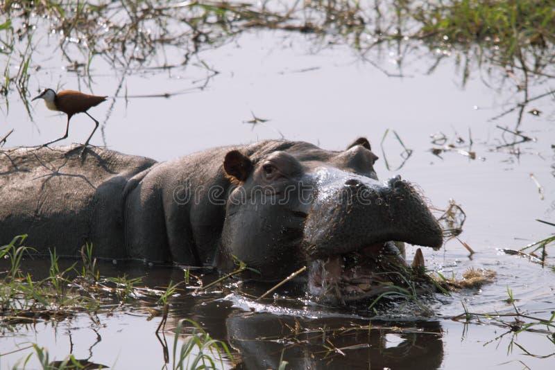 Woest nijlpaard met open mond royalty-vrije stock afbeelding