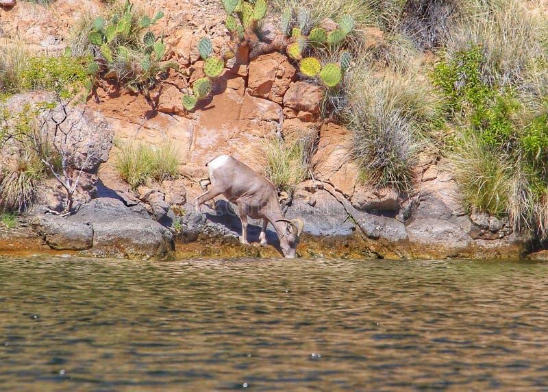 Woestijn bighorn schapen in Arizona royalty-vrije stock fotografie