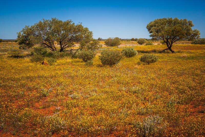 Woestijn het Bloeien stock afbeeldingen