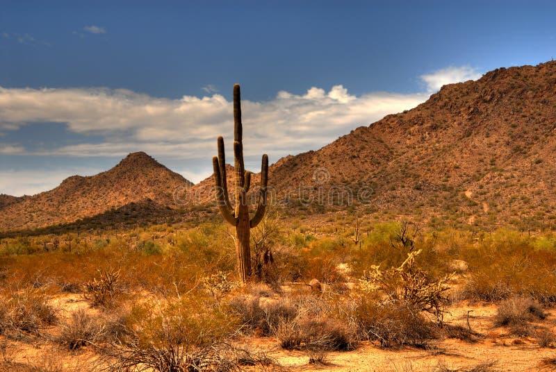 Woestijn Saguaro 46 stock foto