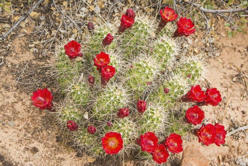 Woestijn van vijgcactus de rode bloesems stock foto's