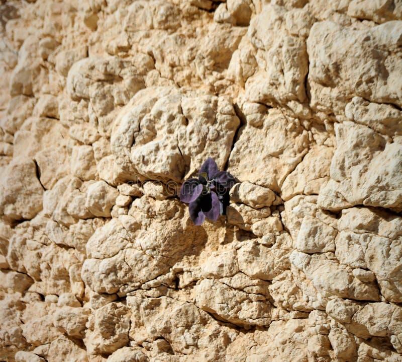 Woestijnbloem in een rots stock afbeeldingen