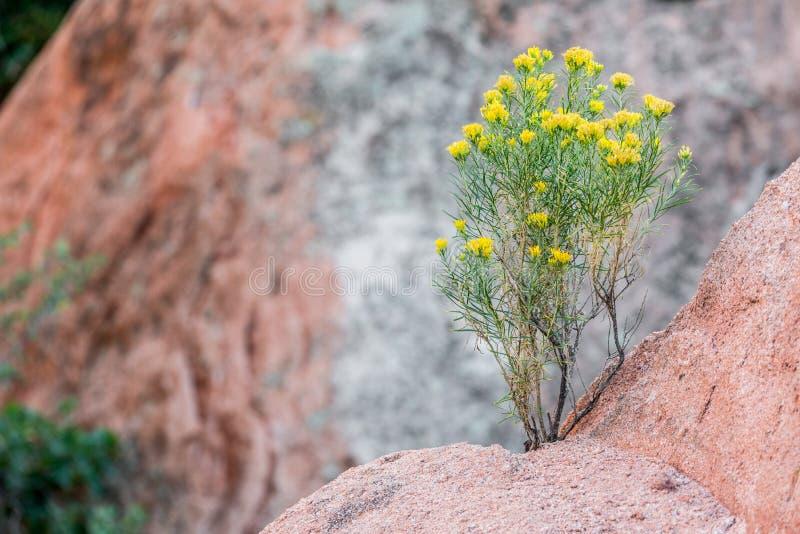 Woestijnbloemen die in bergrots groeien royalty-vrije stock afbeelding
