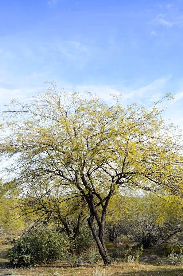 Download Woestijnboom stock foto. Afbeelding bestaande uit arizona - 39109638