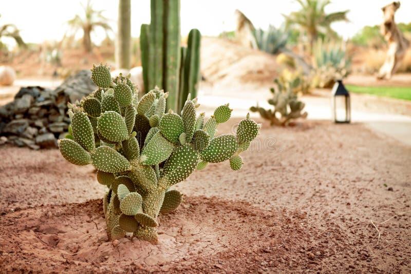 Woestijncactus stock afbeeldingen