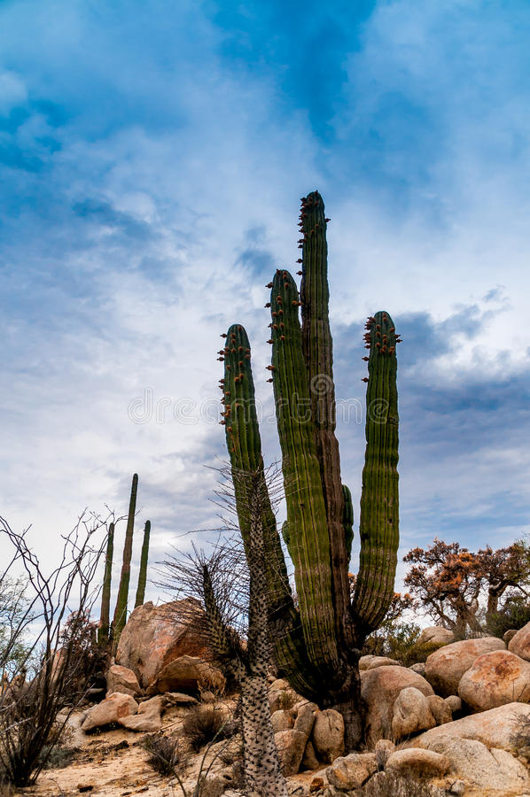 Woestijncactus royalty-vrije stock foto