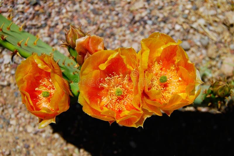 Woestijncactus met Oranje Bloei royalty-vrije stock afbeeldingen