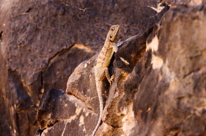 Woestijnhagedis stock afbeeldingen