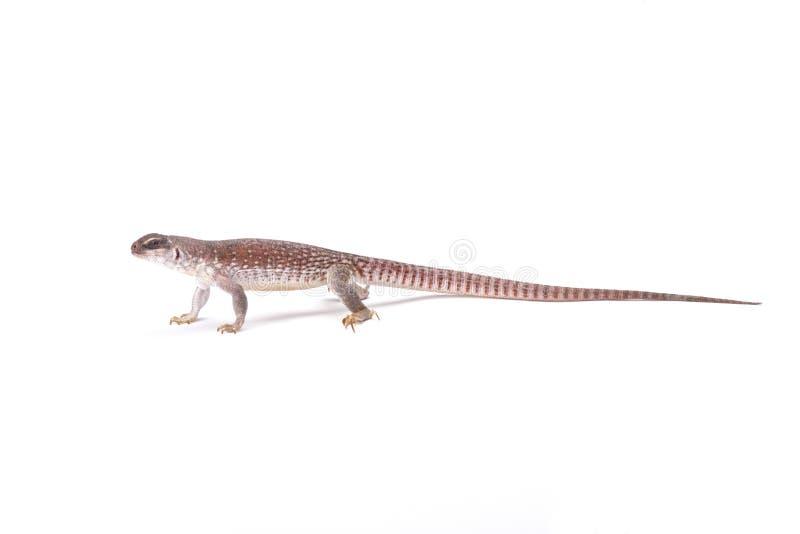 Woestijnleguaan (Dipsosaurus-dorsalis) stock afbeelding