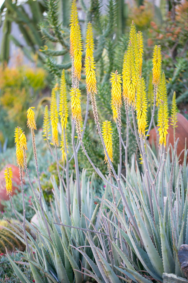 Woestijntuin met succulents royalty-vrije stock foto's