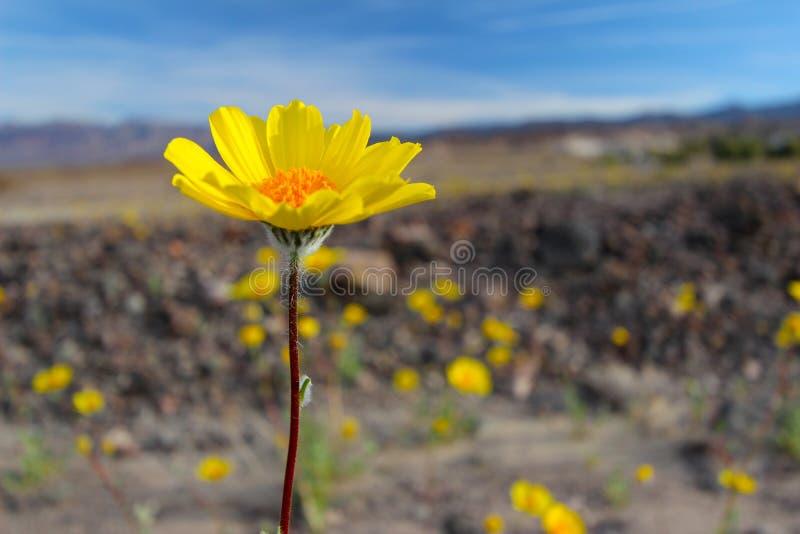 Woestijnzonnebloem, het Nationale Park van de Doodsvallei, de V.S. royalty-vrije stock afbeeldingen