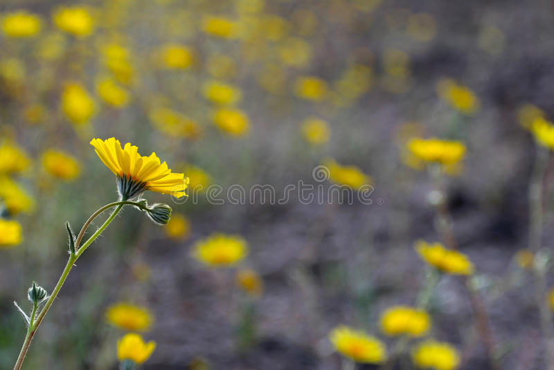 Woestijnzonnebloemen (Geraea canescens), het Nationale Park van de Doodsvallei, de V.S. royalty-vrije stock foto's