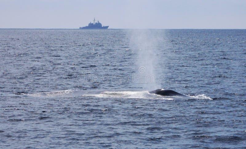 Wojna i pokój - Błękitny wieloryb i statek wojenny zdjęcie royalty free
