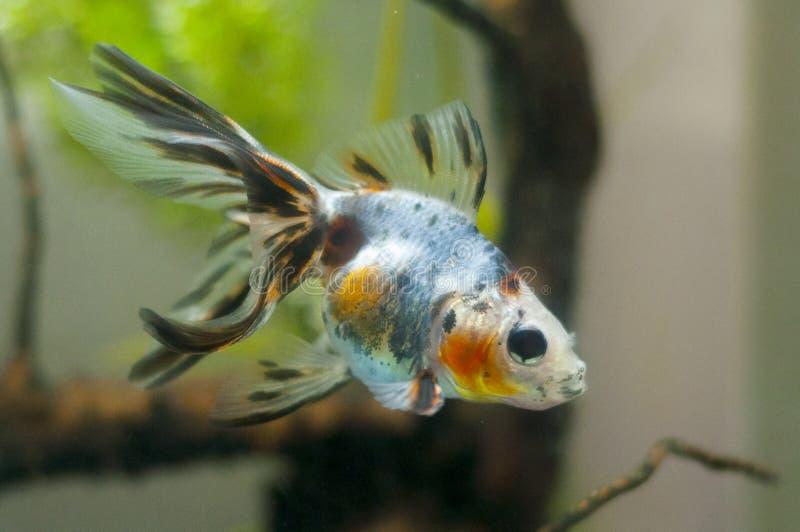 Wojownika rybi dopłynięcie fotografia stock