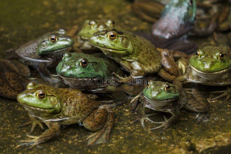 Wojsko żaby w stawie obraz stock