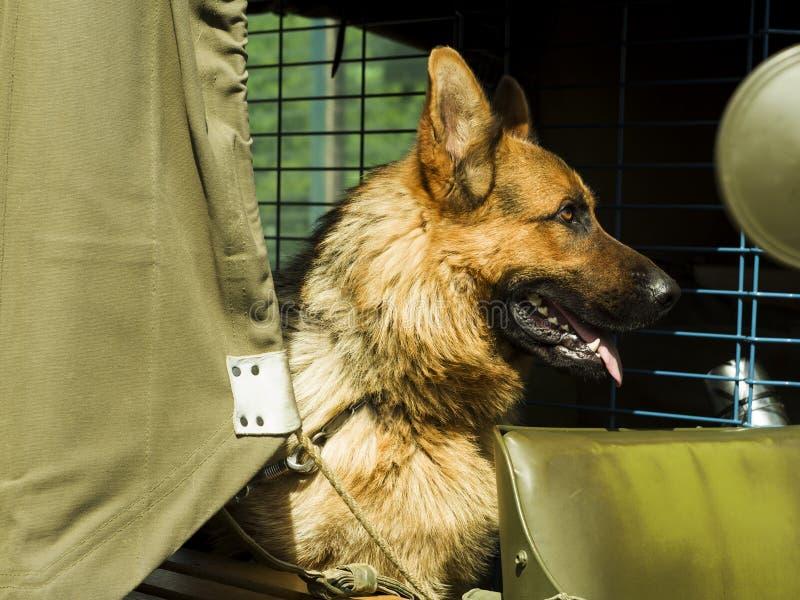 Wojskowego pies - Niemiecka baca obraz royalty free