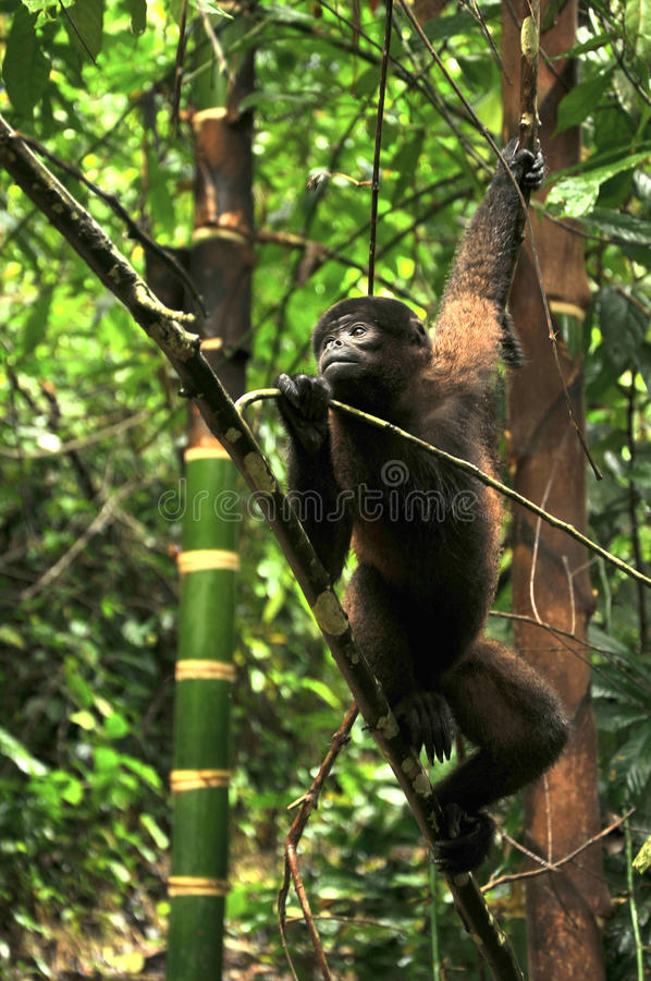 Wolachtige Aap in Amazonië royalty-vrije stock foto