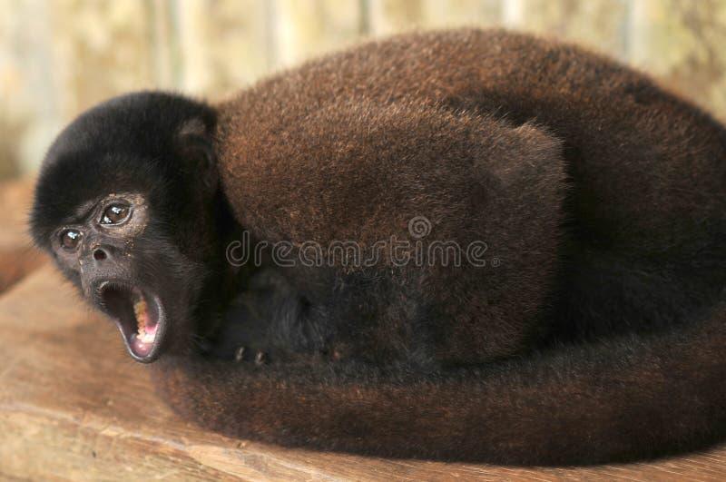 Wolachtige aap die in gevangenschap worden gehandhaafd royalty-vrije stock foto's