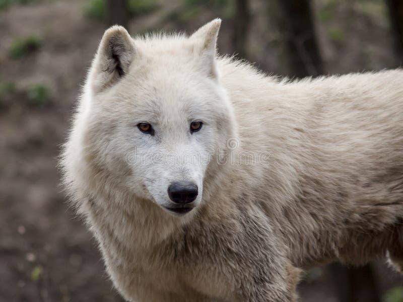 Wolf stock foto's
