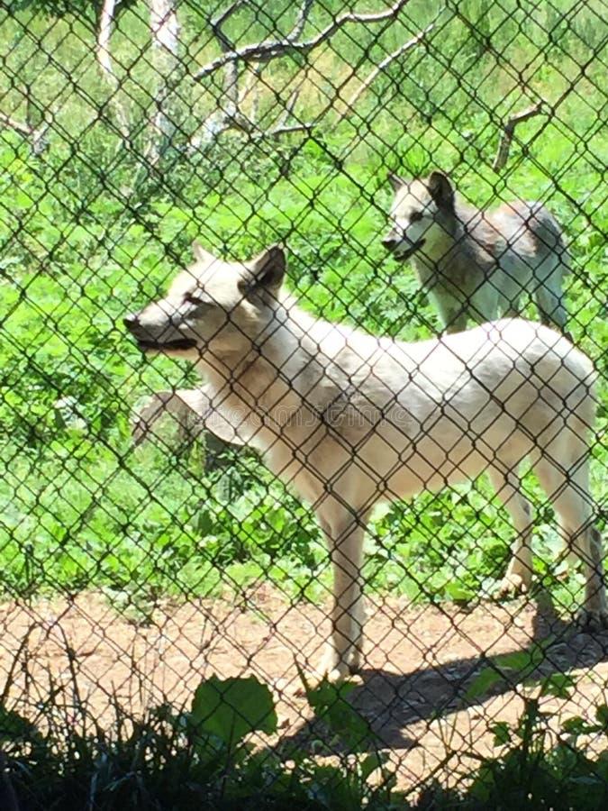 wolf stockfotos