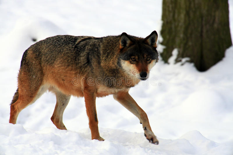 Download Wolf stock image. Image of winter, wolf, woods, fight - 12876559