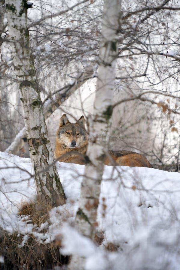 Free Wolf Stock Photo - 13295230