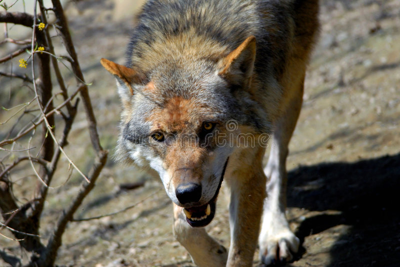 Download Wolf stock image. Image of natural, autumn, animal, best - 1334203