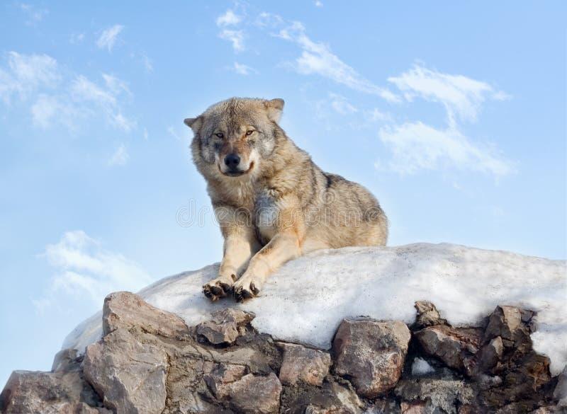 wolf arkivbild