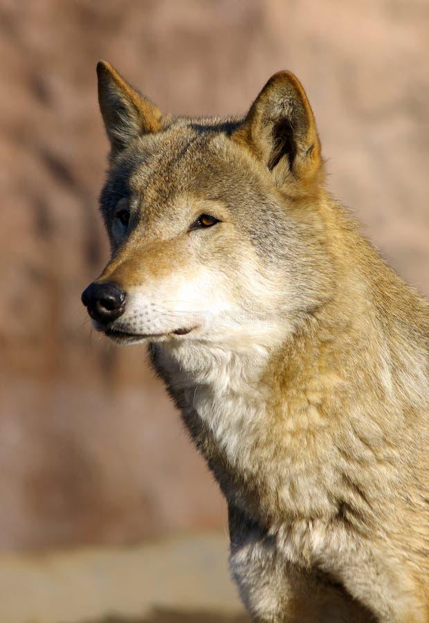 She-wolf photo stock