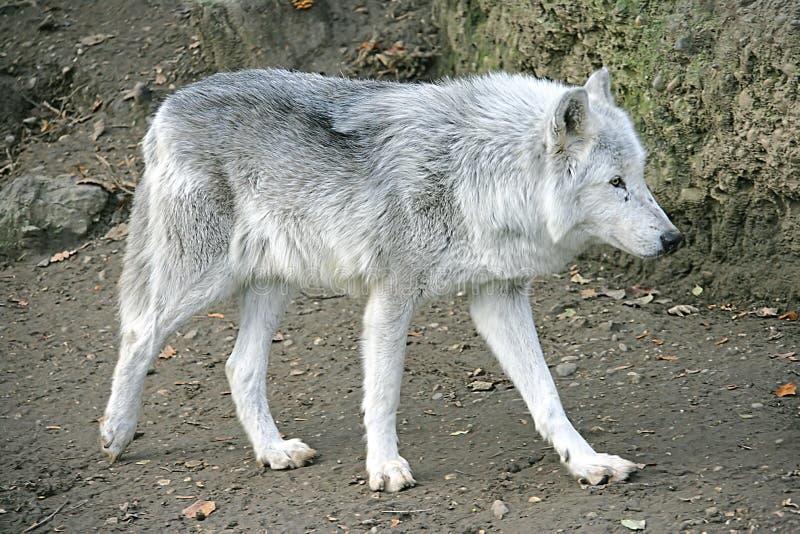 Wolf 2 lizenzfreie stockfotos