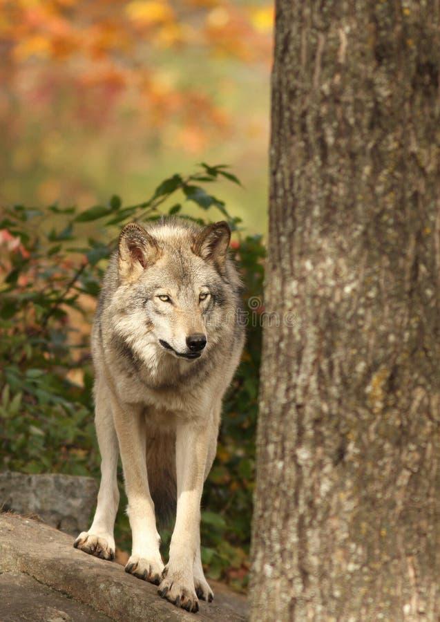 Download Wolf stock image. Image of nose, orange, autumn, grey - 16640537