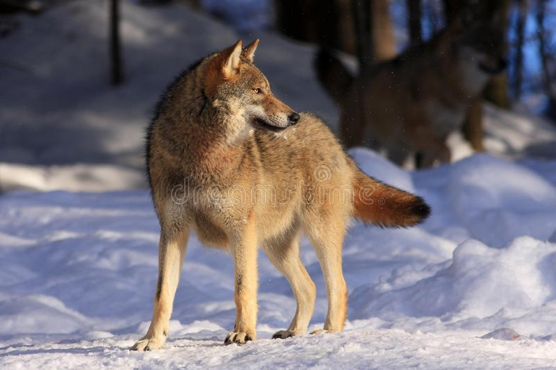 Download Wolf stock image. Image of outdoors, wolf, canine, lupus - 17953491