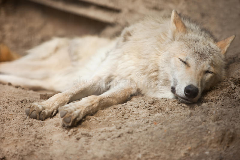 Download Wolf stock image. Image of conservation, creature, outdoors - 19925797
