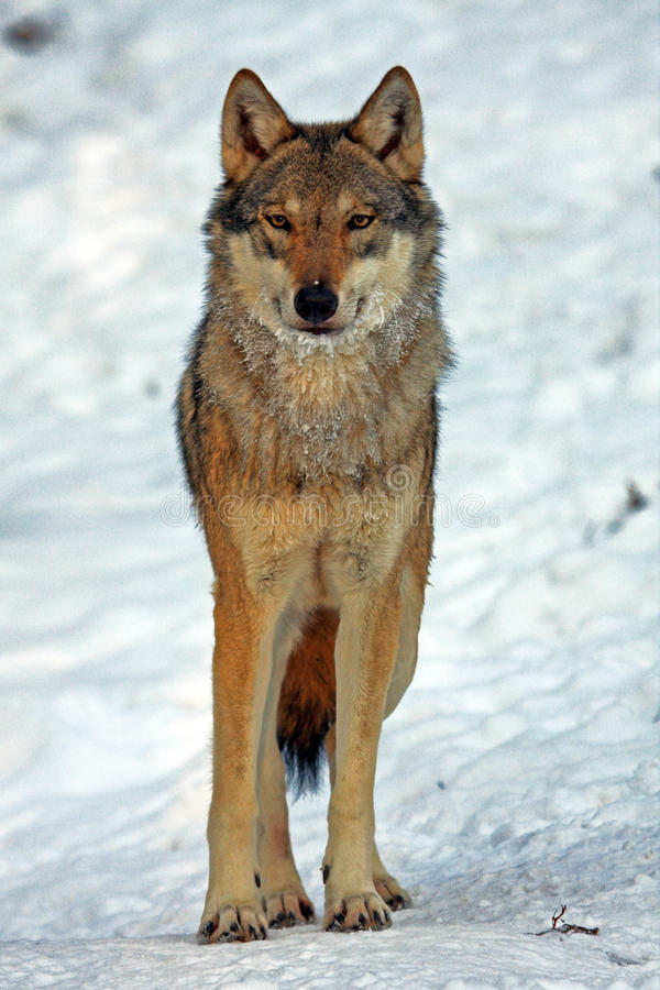 Free Wolf Stock Photography - 20115412