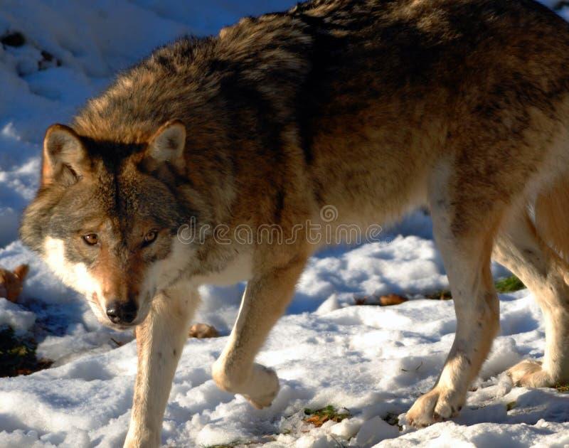 Wolf royalty-vrije stock afbeeldingen