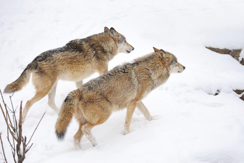 Wolf stock image