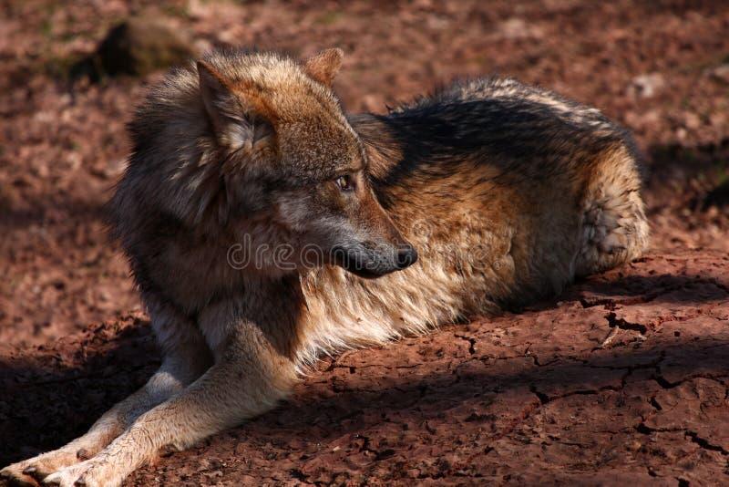 Wolf Stock Photos