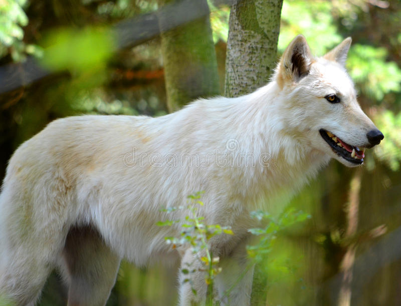 Download Wolf Royalty Free Stock Photography - Image: 26383567
