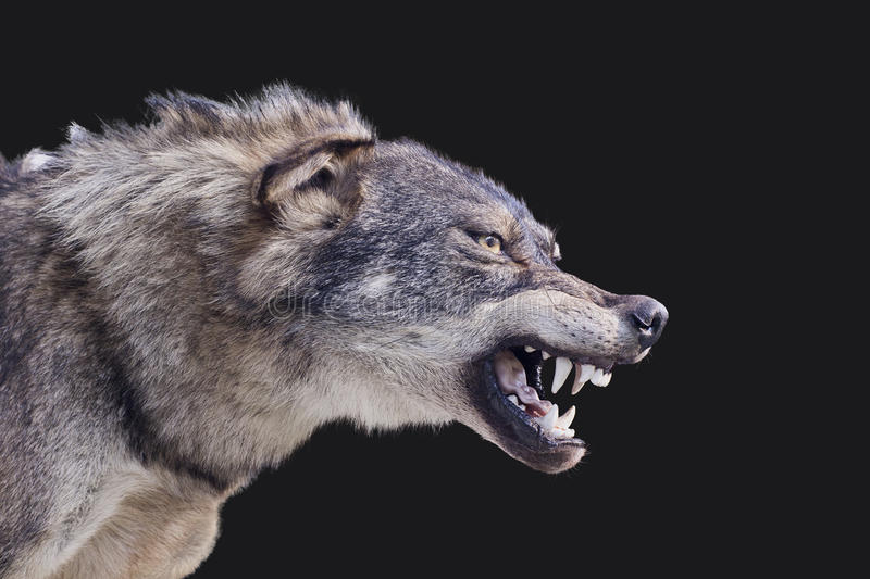 Wolf. Aggressive wolf stuffed canis spain