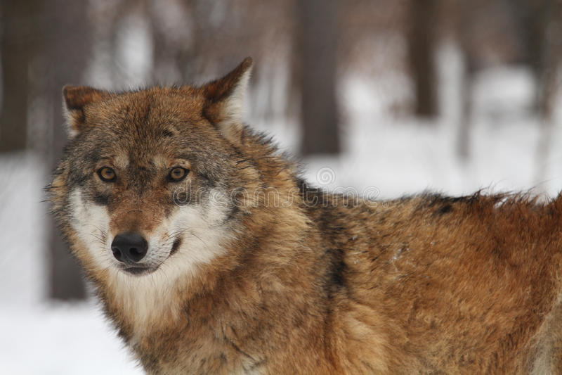 Download Wolf Royalty Free Stock Photography - Image: 27411457