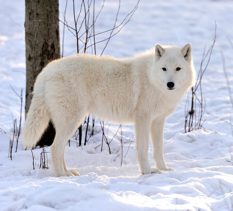 Download Wolf stock photo. Image of mammal, lupus, forest, canis - 28855554