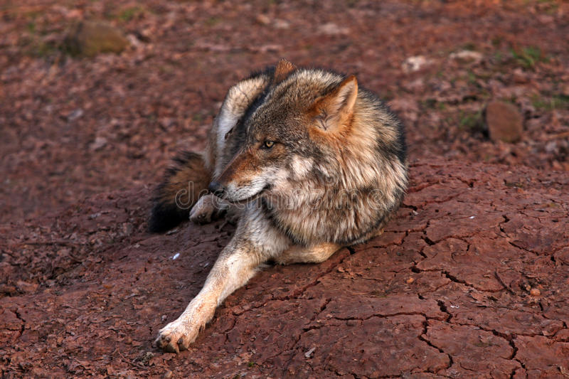 Download Wolf stock photo. Image of animals, relaxing, animal - 28873884