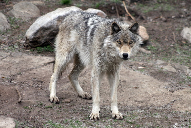 Wolf 3 royalty-vrije stock fotografie