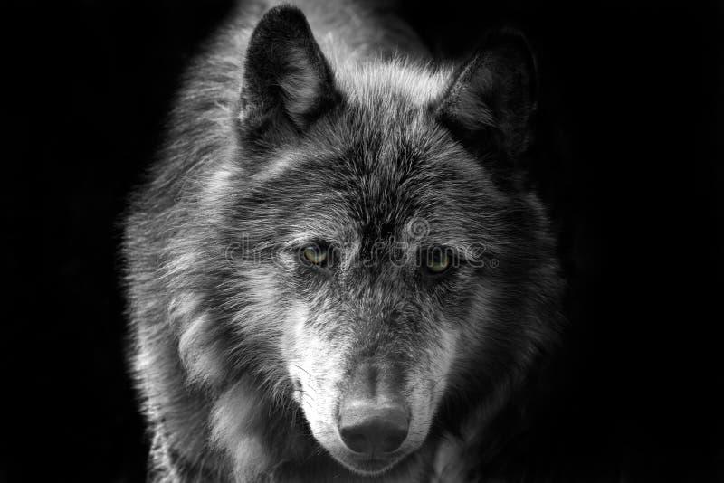 Wolf stock fotografie