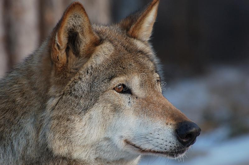 Wolf. royalty free stock photography