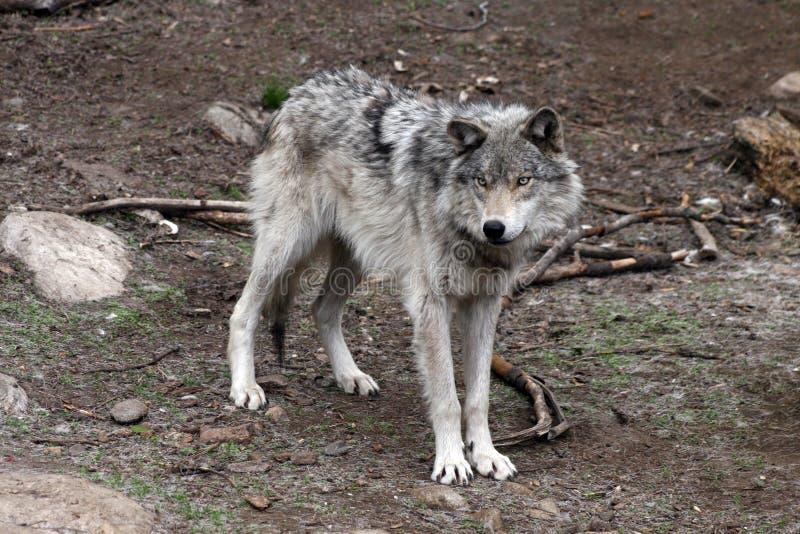 Wolf 4 stockbilder