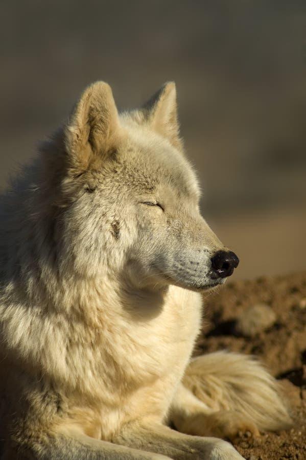 Download Wolf stock image. Image of sleep, wild, happy, mammal - 4348737